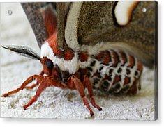 Giant Silkworm Moth 049 Acrylic Print by Mark J Seefeldt