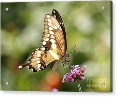 Giant Swallowtail Butterfly Acrylic Print by Robert E Alter Reflections of Infinity