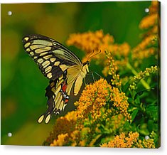 Giant Swallowtail On Goldenrod Acrylic Print by Tony Beck