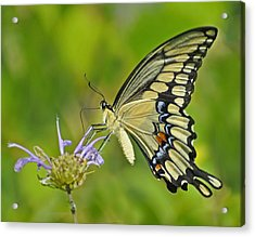 Giant Swallowtail Acrylic Print by Rodney Campbell