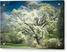 Giant White Oak Spring Acrylic Print by Steve Zimic