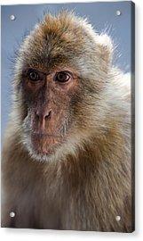 Gibraltar Macaque Portrait Acrylic Print