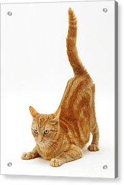 Ginger Cat Acrylic Print by Jane Burton