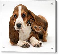 Ginger Kitten And Basset Puppy Acrylic Print by Jane Burton