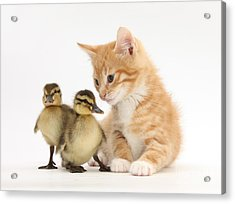 Ginger Kitten And Mallard Ducklings Acrylic Print by Mark Taylor