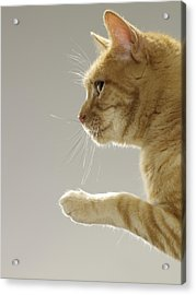 Ginger Tabby Cat Raising Paw, Close-up, Side View Acrylic Print by Michael Blann