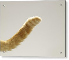 Ginger Tabby Cat Tail, Close-up Acrylic Print by Michael Blann