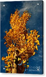 Gingko To The Sky Acrylic Print