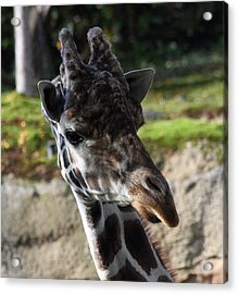 Giraffe - 0001 Acrylic Print by S and S Photo