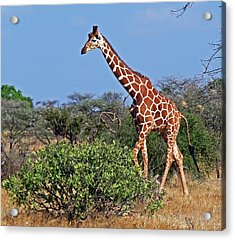 Giraffe Against Blue Sky Acrylic Print