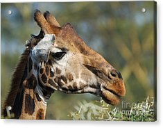 Giraffe Acrylic Print by Alan Clifford