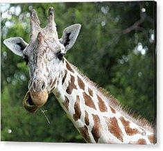 Giraffe Chewing Acrylic Print by Billie-Jo Miller