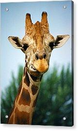 Giraffe Acrylic Print by CJ Clark