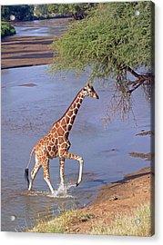 Giraffe Crossing Stream Acrylic Print
