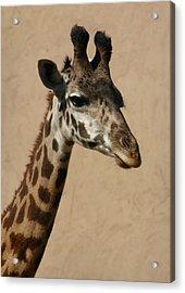 Giraffe Acrylic Print by Kelly Hazel