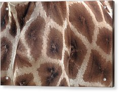 Giraffe's Hide Acrylic Print by John Foxx