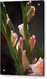Gladiolus II Acrylic Print by Dickon Thompson