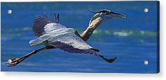 Gliding Great Blue Heron Acrylic Print by Sebastian Musial