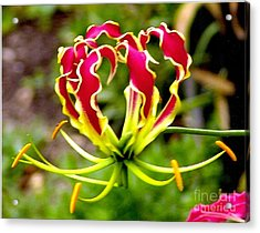 Gloriosa Lily Acrylic Print by Rod Ismay