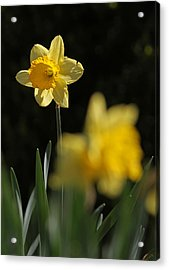 Glorious Daffodil Acrylic Print by Juergen Roth