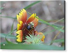 Glory Bumblebee Acrylic Print