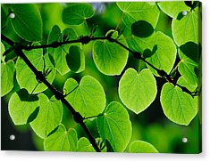Glowing Heart Shaped Leaves Acrylic Print by Hegde Photos