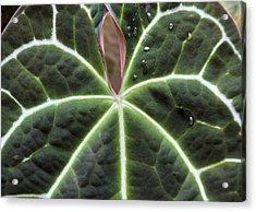 Glowing Leaf Acrylic Print by Rosalie Scanlon