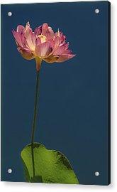 Glowing Lotus Acrylic Print by Jill Balsam