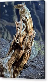 Gnarled Tree Stump Acrylic Print by Rod Jones