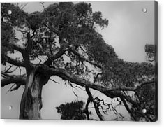 Gnarly Cedar Tree Acrylic Print by Teresa Mucha