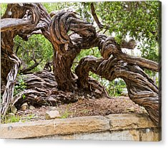 Gnarly Tree I Acrylic Print by Bernard  Barcos