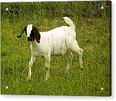 Goat Fun Acrylic Print by Wendy McKennon