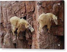Goats On Rocks Acrylic Print