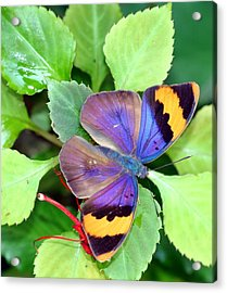 Gold Banded Forester Acrylic Print by April Wietrecki Green