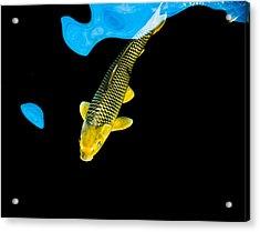 Gold Chagoi01 Acrylic Print