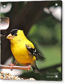 Acrylic Print featuring the photograph Gold Finch by Eve Spring