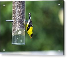 Gold Finch Acrylic Print by Richard Lee