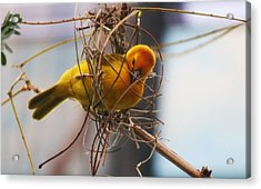 Gold Weaver Acrylic Print by Paulette Thomas
