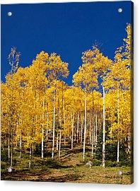 Golden Aspen Stands Acrylic Print by Stephen  Johnson