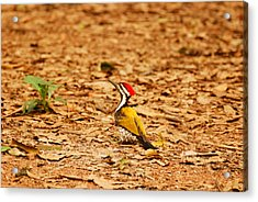 Acrylic Print featuring the photograph Golden Backed Woodpecker by Fotosas Photography
