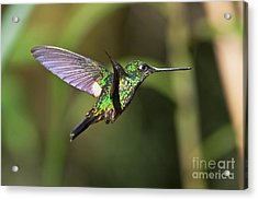 Golden-breasted Puffleg Acrylic Print