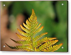 Golden Acrylic Print by Chris Anderson