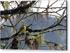 Golden-crowned Flycatcher Acrylic Print by Bob Gibbons