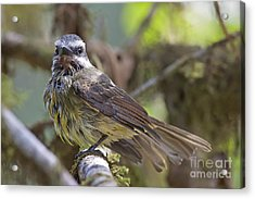Golden--crowned Flycatcher Acrylic Print