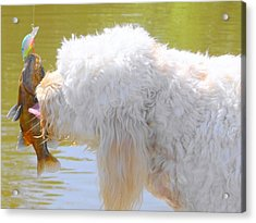 Golden Doodle And Goggle Eye Acrylic Print by Betty Berard