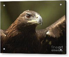 Acrylic Print featuring the photograph Golden Eagle by Doug Herr