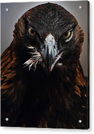 Golden Eagle Feeding Acrylic Print by Pat Gaines