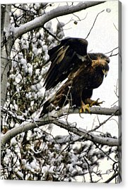 Golden Eagle Stretching Acrylic Print by Don Mann
