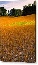 Golden Field Acrylic Print by Luba Citrin