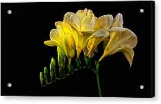 Golden Freesia Acrylic Print by Floyd Hopper